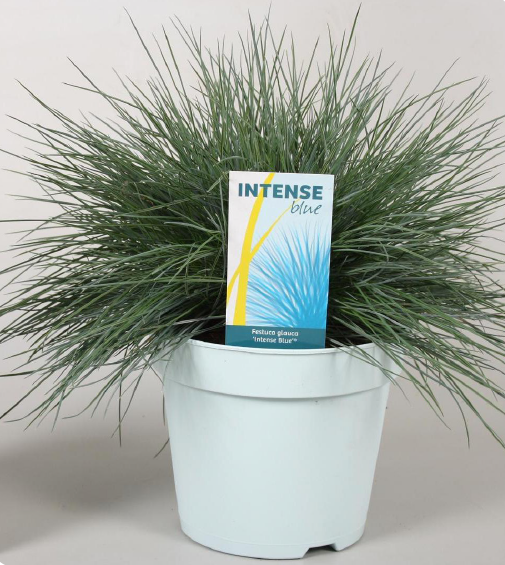 product-festuca.png