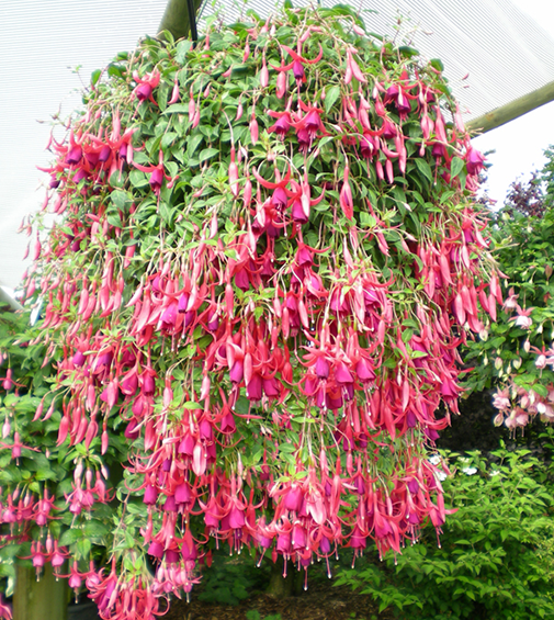 product-fuchsia-hang.png