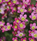 Saxifraga Highlander - Red shades